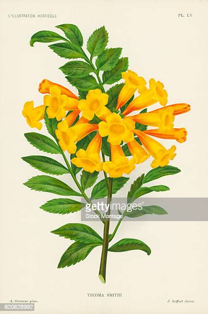 Chromolithograph illustration of a Tecoma Smithi plant with red and yellow flowers 19th century The illustration appeared in Charles Antoine...