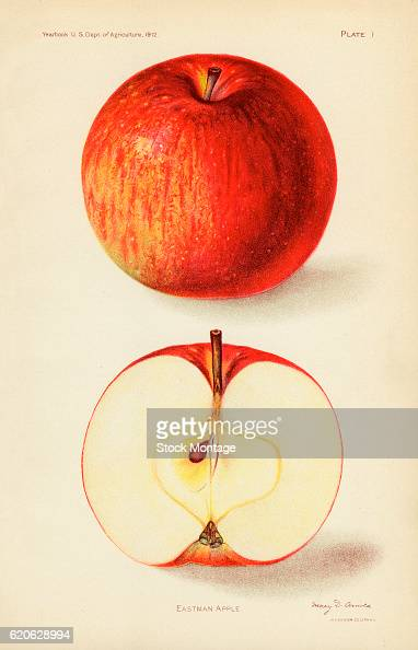 Chromolithograph illustration of Eastman apples depicted in whole and cross section views 1912 The illustration appeared in an unspecified US...