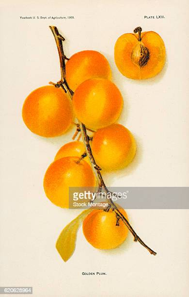 Chromolithograph illustration of Golden plums depicted in whole and cross section views 1905 The illustration appeared in an unspecified US...