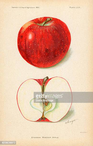 Chromolithograph illustration of Stayman Winesap apples depicted in whole and cross section views 1902 The illustration appeared in an unspecified US...