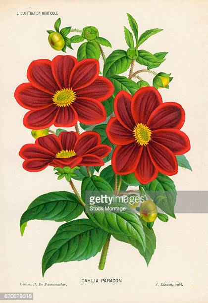 Chromolithograph illustrationof a Dahlia Paragon a red flowering plant 19th century The illustration appeared in Charles Antoine Lemaire's book...