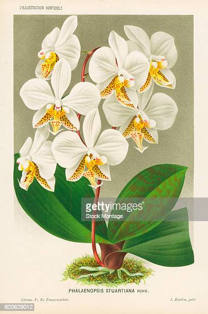 Chromolithograph illustrationof a Phalaenopsis Stuartiana a white flowering orchid with redbrown spots 19th century The illustration appeared in...