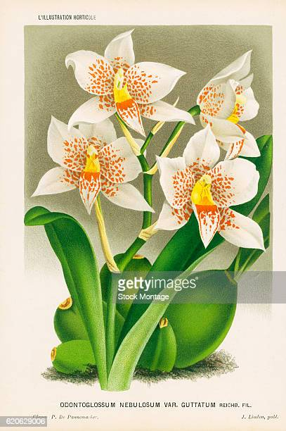 Chromolithograph illustrationof an Odontoglossum Nebulosum a white flowering orchid with redbrown and yellow mottling 19th century The illustration...