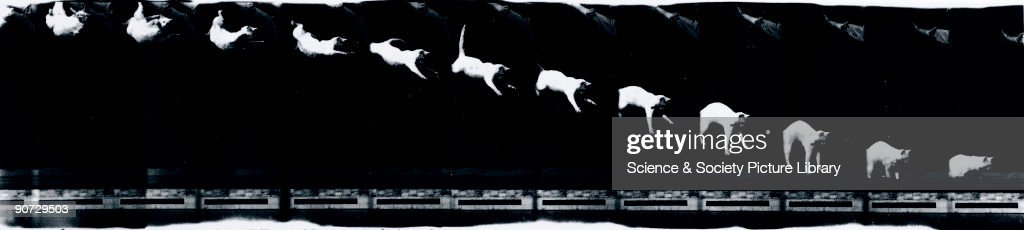 Chronophotograph made on moving film consisting of twelve frames showing a cat falling taken by EtienneJules Marey Marey along with Muybridge is one...