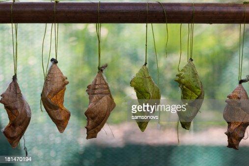 Weingut Chrysalis butterfly : Stock-Foto