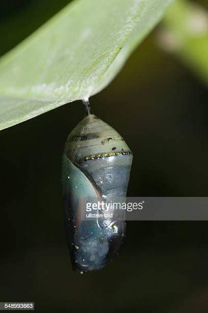Chrysalis of Monarch Butterfly Danaus plexippus Peleliu Island Micronesia Palau