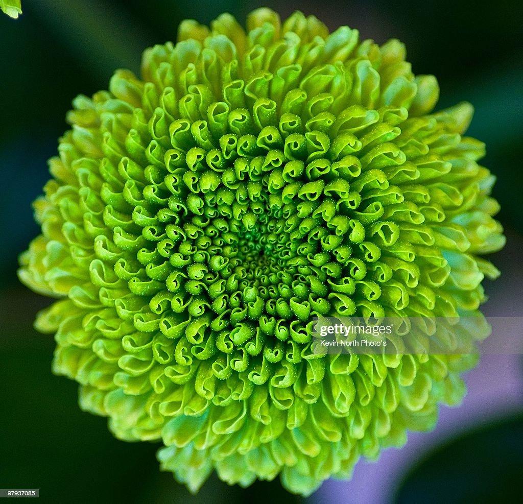 Chrysanthemum Dendranthema