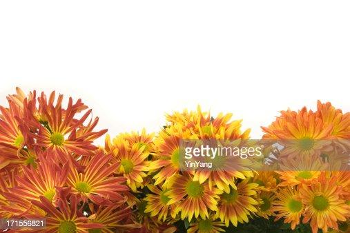 Chrysanthemum Flower Autumn Frame Border, an Orange Seasonal Plant Background