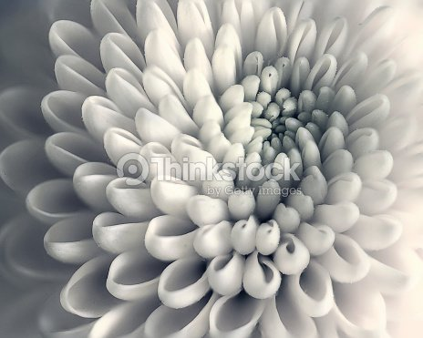 Chrysanthemum flower closeup : Stock Photo