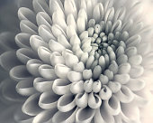 Chrysanthemum,Flower,Nature