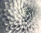Chrysanthemum,Flower,Nature