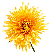 Chrysanthemum flower on a long stem on white isolated background