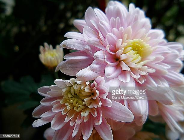 Chrysanthemum Flowers Blooming Outdoors