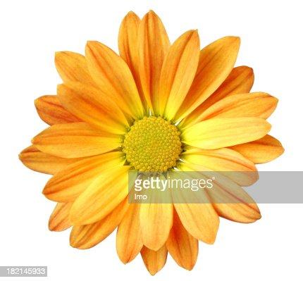 Chrysanthemum Isolated