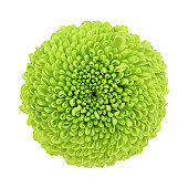 Macro of a green chrysanthemum isolated on white background.