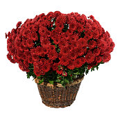 Bush of drone chrysanthemum in a basket isolated on white.