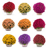 kinds of bouquets of the chrysanthemums isolated on a white background