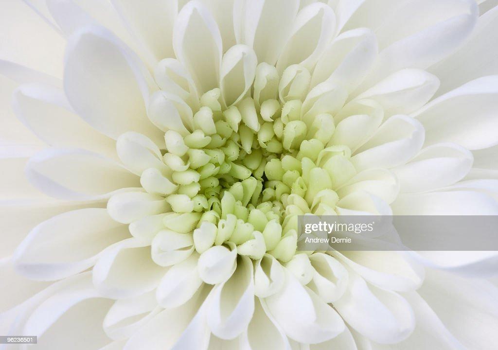 Chrysanthemum : Stock Photo