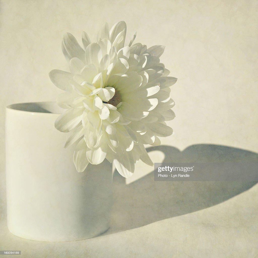 Chrysanthemum shadow