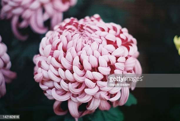 Chrysanthemum show