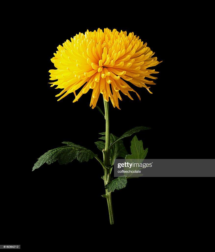 Chrysanthemum yellow flower isolated on black : Stock Photo