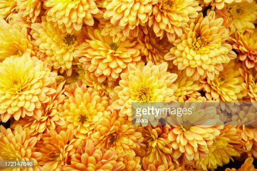 Chrysanthemums background