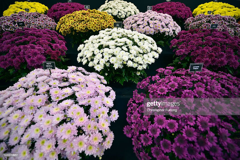 Chrysanthemums bloom as horticulturalists prepare their displays for the Harrogate Flower Show on April 25 2012 in Harrogate England Over 100...