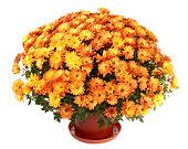 Chrysanthemums en flowerpot