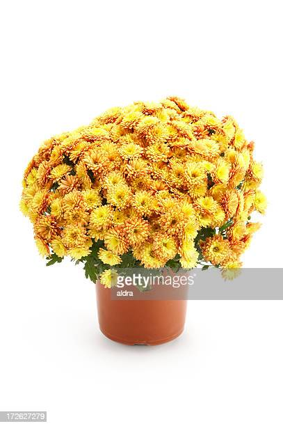 Chrysanthèmes dans flowerpot