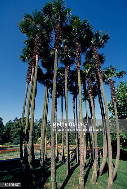 Chusan Palm Windmill Palm or Chinese Windmill Palm trees Arecaceae Japan