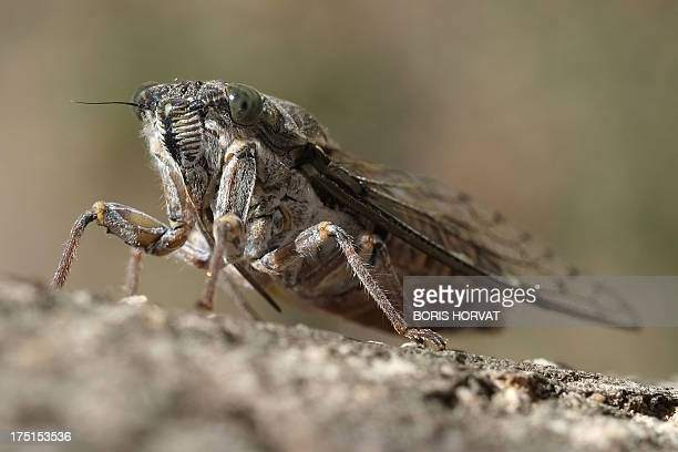 A cicada a symbol of France's southeastern area of Provence is pictured on a tree on July 28 2013 in Marseille AFP PHOTO / BORIS HORVAT