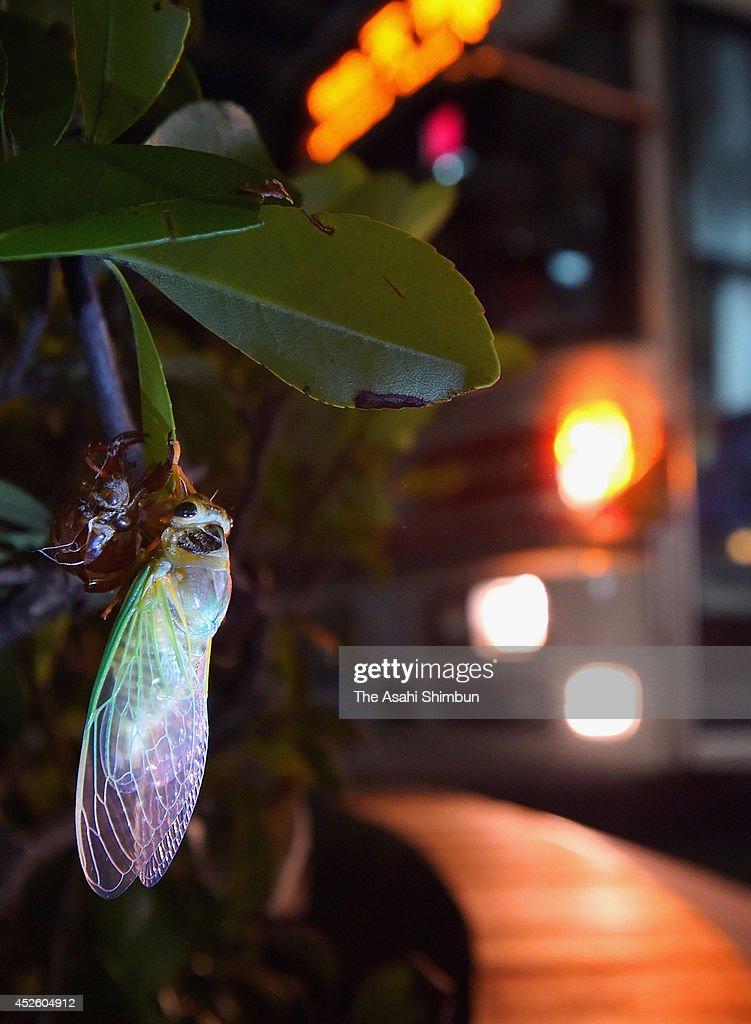 A cicada has emerged from a pupa in central Fukuoka on July 18, 2014 in Fukuoka, Japan.