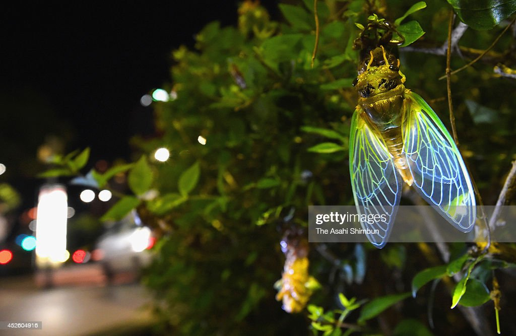 A cicada has emerged from a pupa in central Fukuoka on July 18, 2014 in Fukuoka, Japan.