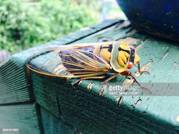 Cicada in the yarra valley