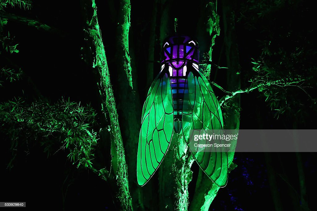 A cicada light sculpture is displayed in a tree during a media preview of Vivid Sydney illuminated displays at Taronga Zoo on May 24, 2016 in Sydney, Australia. Vivid is lighting up at Taronga Zoo for the first time with ten giant animal sculptures representing critical species the zoo is committed to protecting. Held annually, Vivid Sydney is the world's largest festival of light, music and ideas running for 23 days.