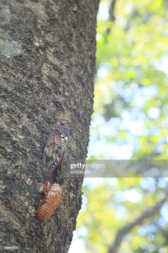 Cicada molting on cherry tree