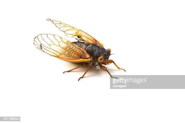 Cicada on White