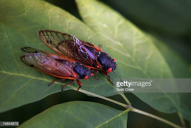A cicada sits on a leaf at a forest preserve June 11 2007 in Willow Springs Illinois The cicada is one of millions in the area that have emerged from...