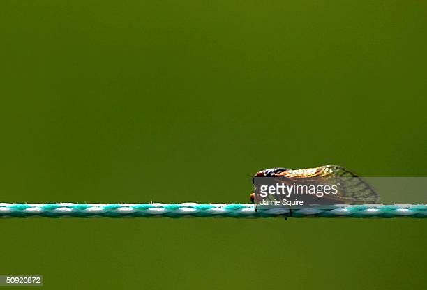 A cicada sits on a rope during the first round of the Memorial Tournament on June 3 2004 at Muirfield Village Golf Club in Dublin Ohio