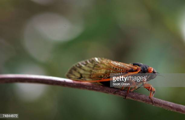 A cicada sits on a twig in a forest preserve June 11 2007 in Willow Springs Illinois The cicada is one of millions in the area that have emerged from...