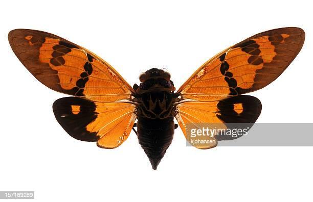 Cicada Specimen