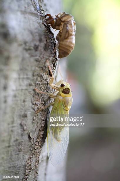 Cicada undergoing metamorphosis, Japan
