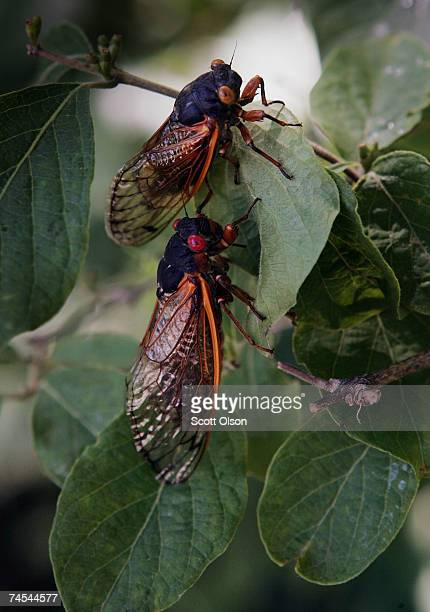 Cicadas cling to a tree in a forest preserve June 11 2007 in Willow Springs Illinois The cicada is one of millions in the area that have emerged from...