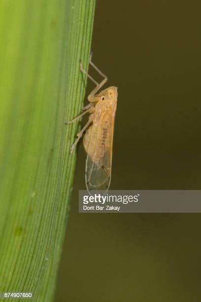 Cicadellidae sp. Family Delphacidae
