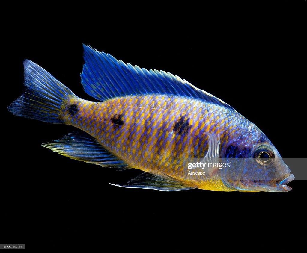 Freshwater aquarium fish cichlids - A Cichlid Copadichromis Verduyni Freshwater Aquarium Fish That Is Endemic To Lake Malawi