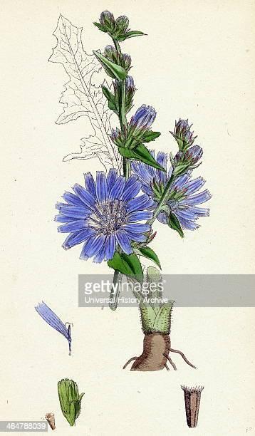 Cichorium Intybus Wild Succory