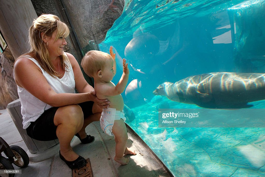Cici Schultz and her son Derek Schultz, 9-months, of Arlington, Virginia watch a sea lion as it swims by a viewing area during a sneak peak at the new American Trail at the Smithsonian National Zoo August 29, 2012 in Washington, D.C. The 300,000 gallon sea lion pool, designed in the style of a rocky California beach, is complete with a wave machine and is the new home to four female California sea lions, Summer, Sidney, Calli and Sophie. The trail, featuring animals and horticulture native to the Americas, opens to the public on September 1.