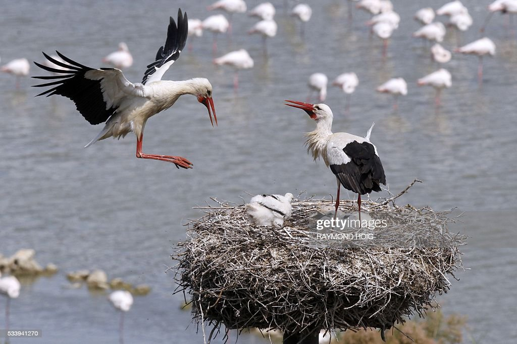 Ciconia (Storks) look after their young in the grounds of the African Reserve (Réserve Africaine ) wildlife park in Sigean, southern France on May 24, 2016. / AFP / RAYMOND