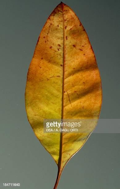 Cider gum leaf Myrtaceae