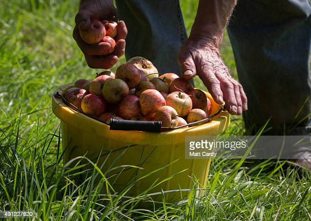 Cider maker Roger Wilkins owner of Wilkins Cider Farm picks apples from a tree in his orchard at his farm in the village of Mudgley on October 2 2015...